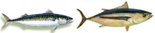 pesce azzurro 2