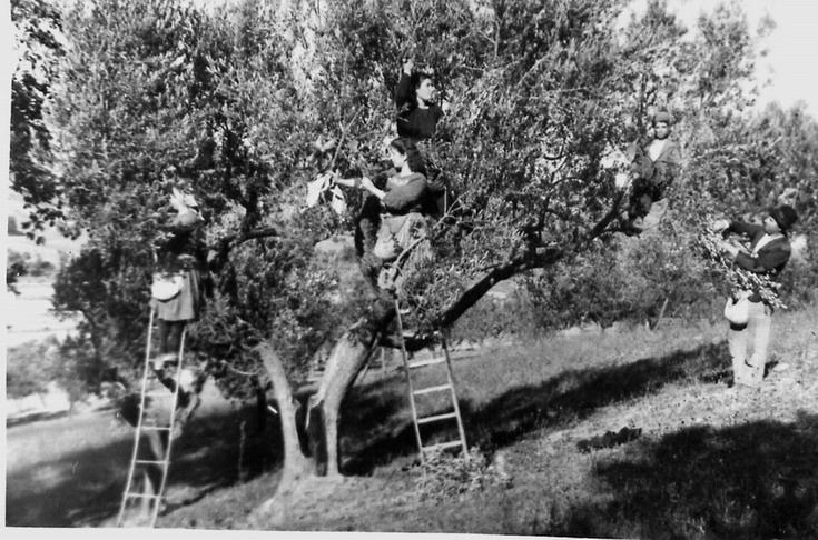raccolta_olive_2