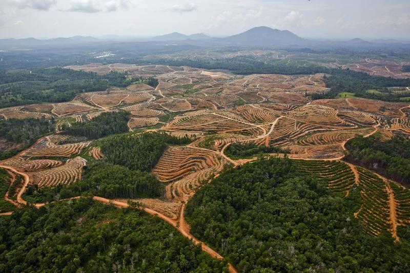 piantagione di palme realizzata a spese delle foreste